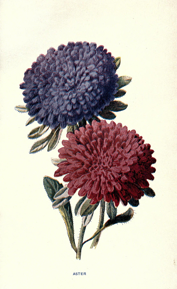 Aster | Biodiversity Heritage Library | Familiar Garden Flowers (CC BY-NC-SA 2.0)