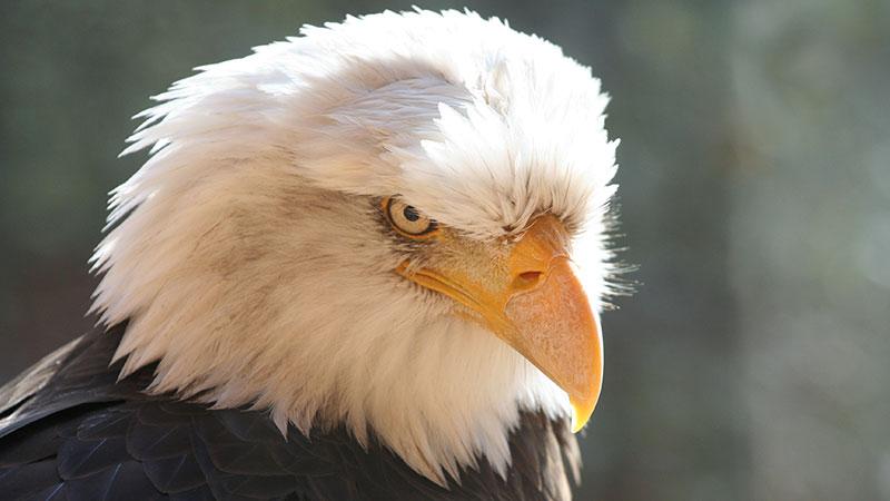 Bald eagle glaring at you