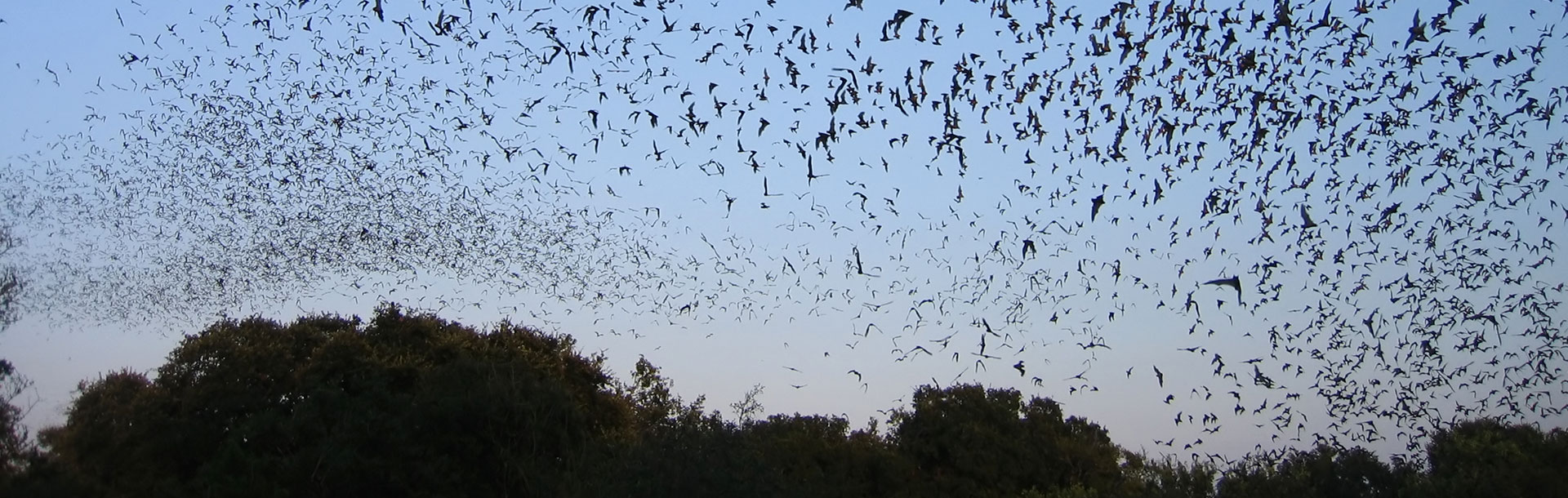 Mexican free-tailed bats in Texas | Photo: iStock Photo/derwood05