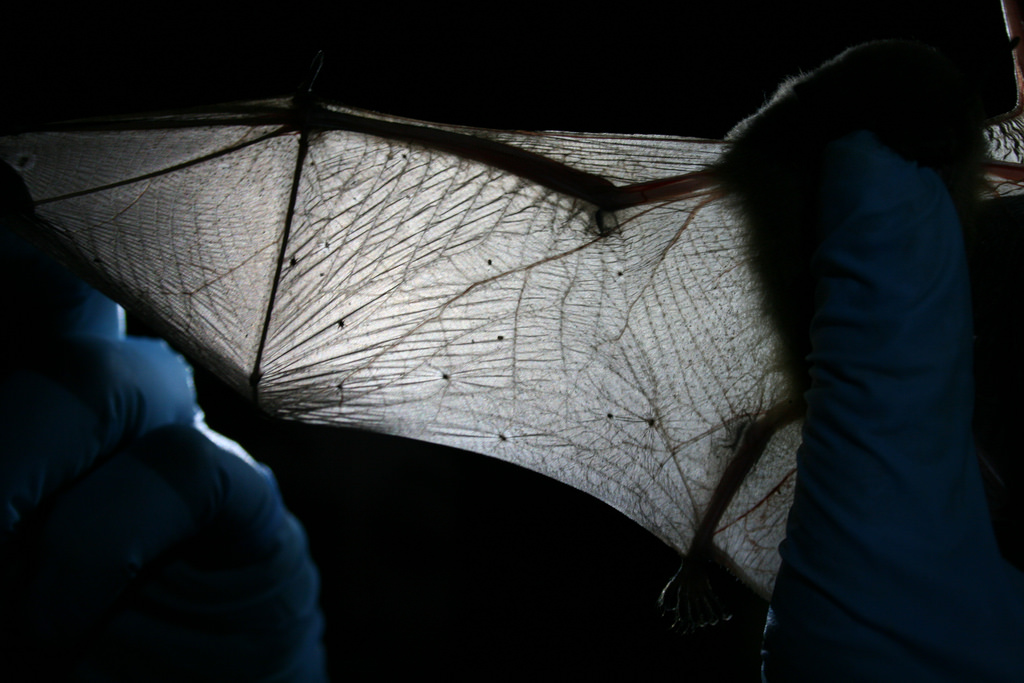 bat-wing-white-nose-4-7-16.jpg