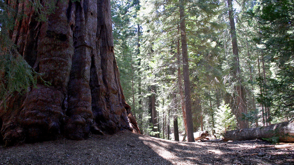 In a giant Sequoia grove | Photo: Melissa Wiese, some rights reserved