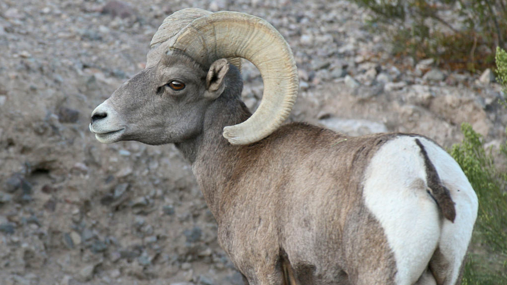 Desert bighorn sheep | Photo: David Lamfrom