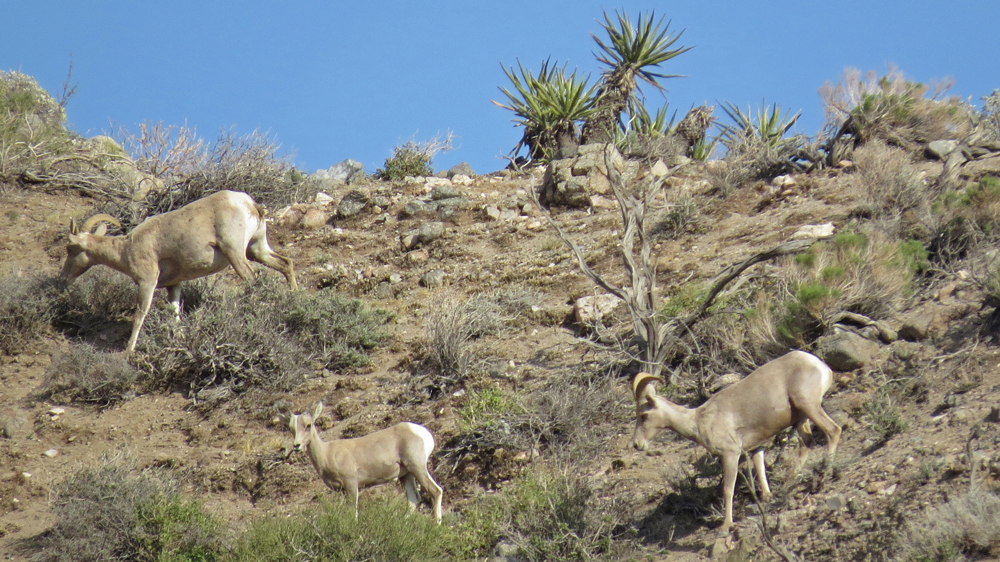 Desert bighorn sheep at the Whitewater Preserve | Photo: Brittany O'Connor, some rights reserved