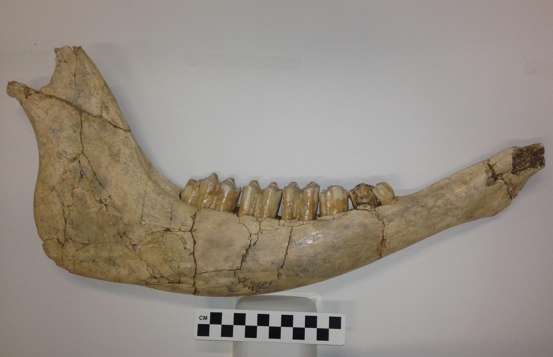 bison-jaw-5-11-16.jpg