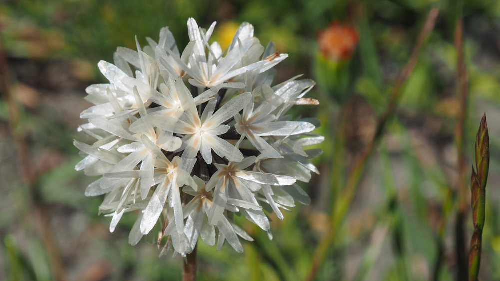 Blow-wives, a.k.a. Achyrachaena mollis | Photo: Gary Ford, some rights reserved
