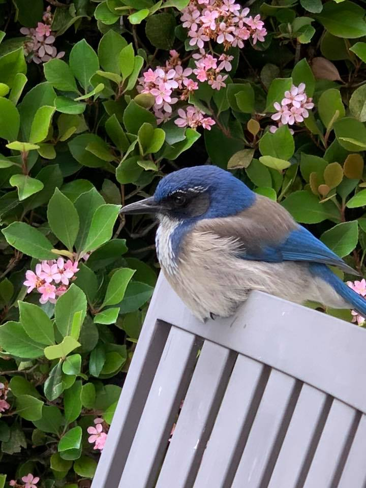 Close up picture of a bluebird perched on a bench   Karen Foshay