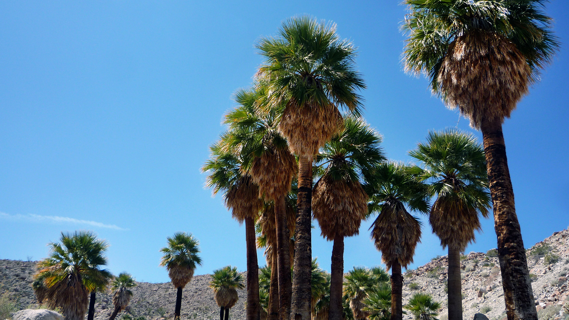 Palm trees in Borrego Palm Canyon