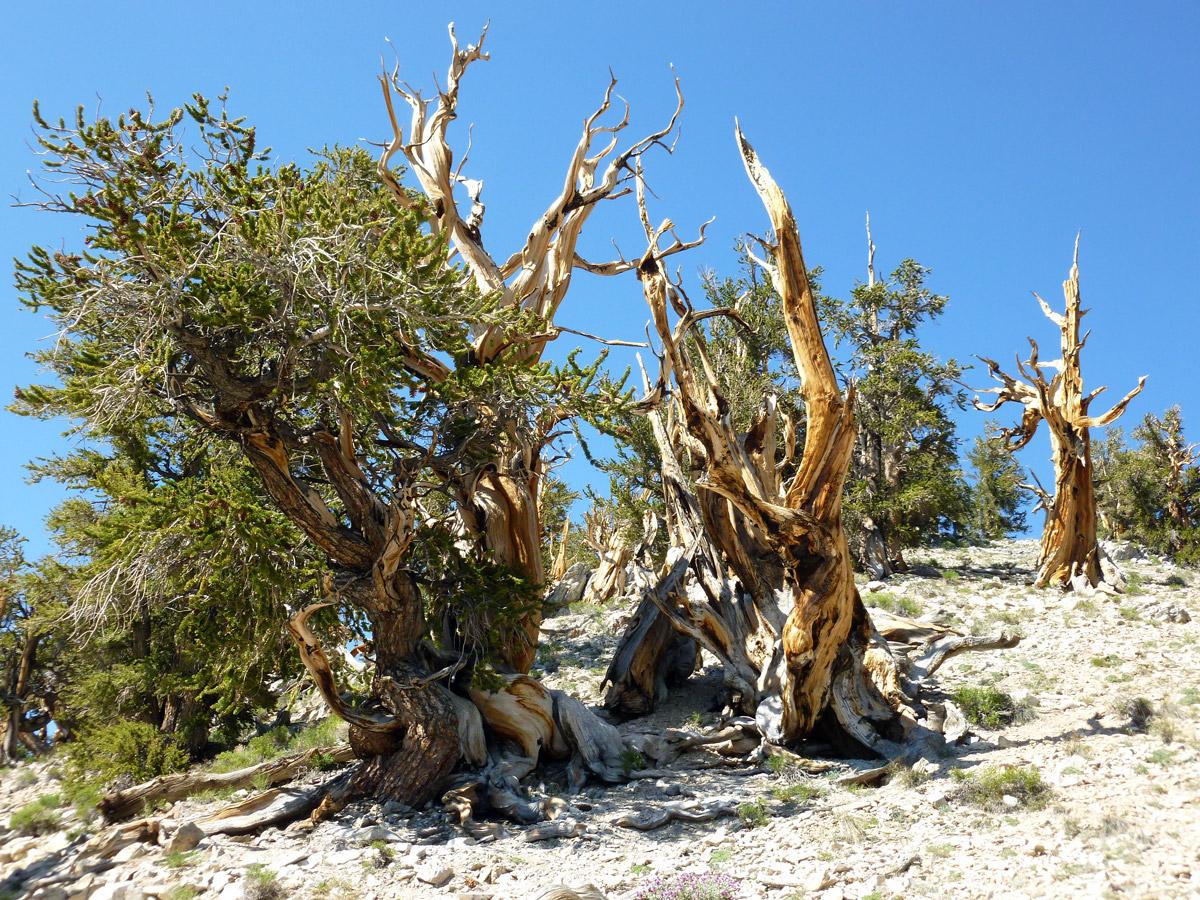 Bristlecone Pine | Sandi Hemmerlein