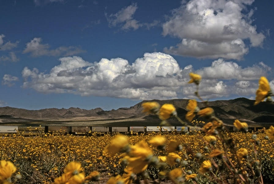 An eastbound Santa Fe moves through a field of wildflowers, en route to climbing Ash Hill and then on to Amboy and Needles. | Shirley Burman
