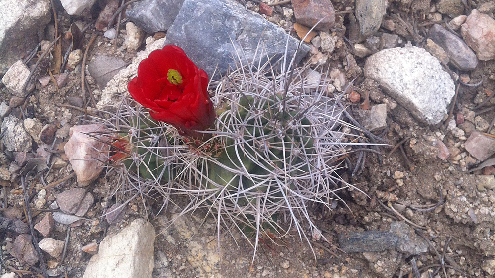 Small Mojave mound cactus in bloom | Photo: Chris Clarke