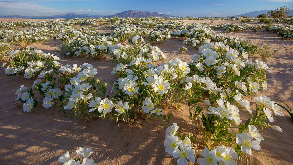 Primroses at the Cadiz Dunes | Photo: Bob Wick/BLM