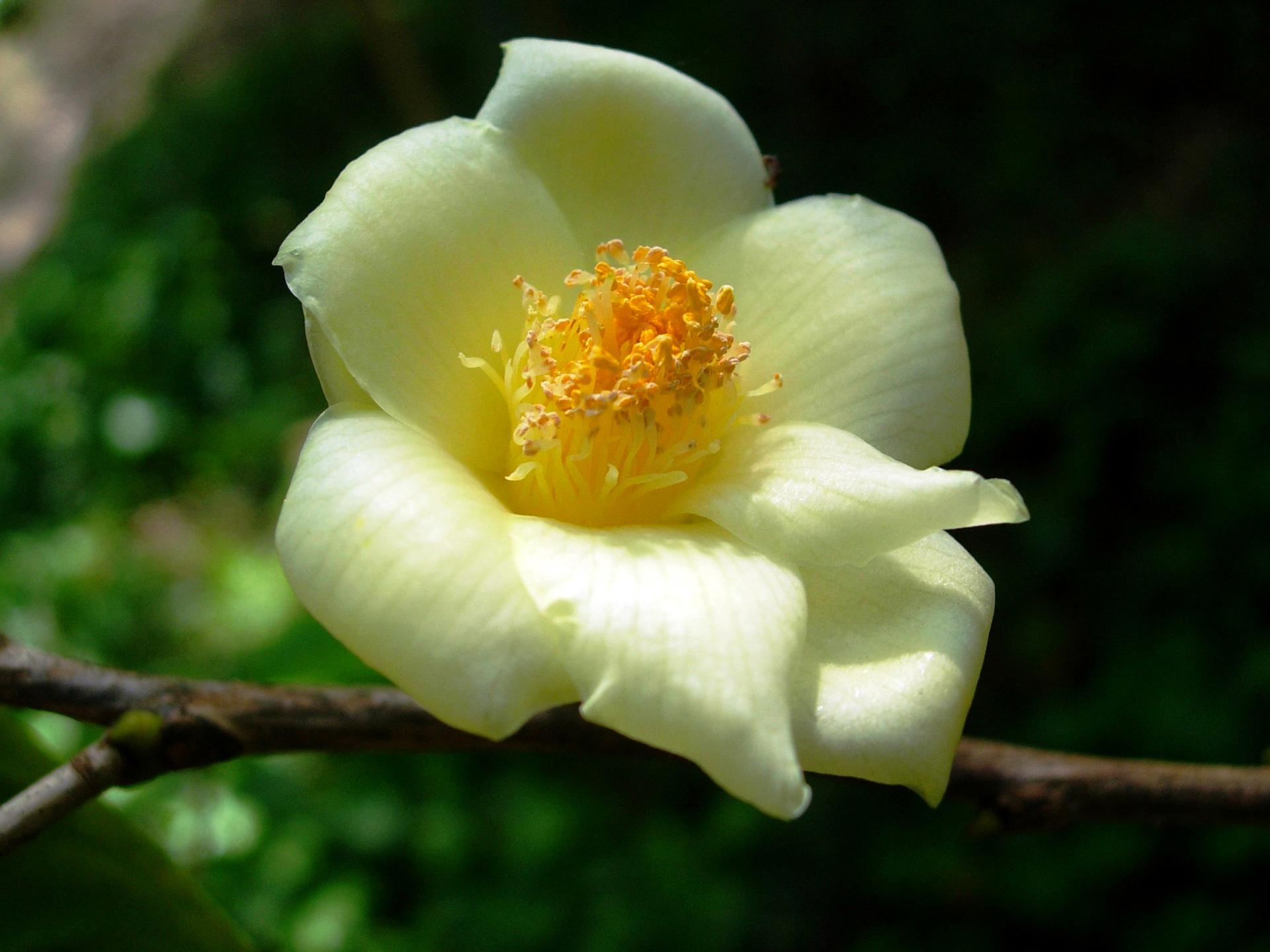 Camellia nitidissima v. nitidissima