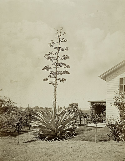 Century plant. Photograph courtesy of Carleton Watkins collection, J. Paul Getty Museum