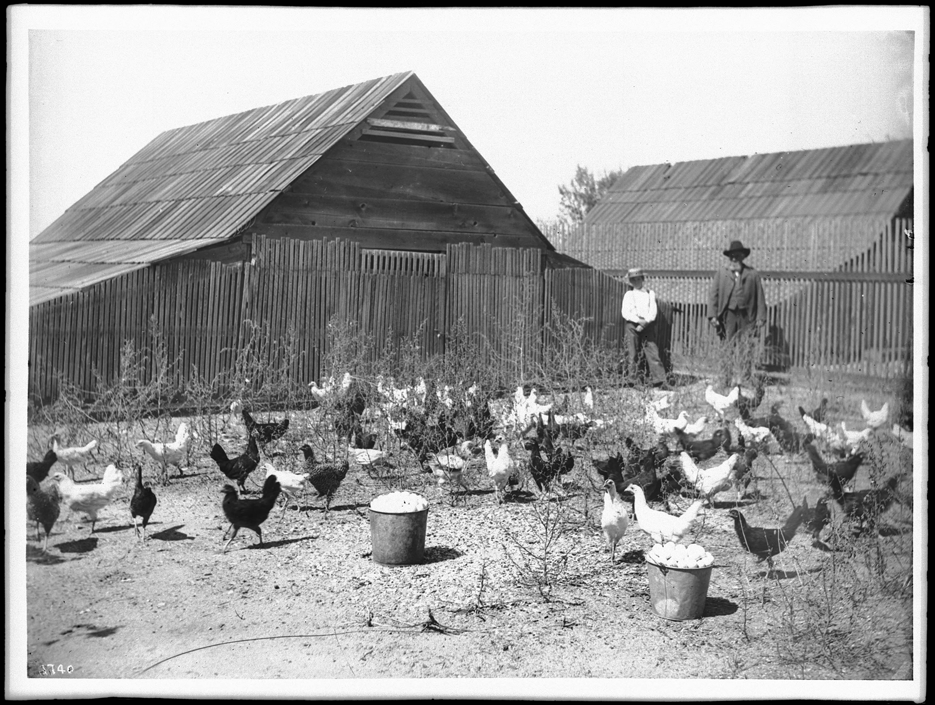 Chickens in an Outdoor Pen on a Chicken Ranch ca. 1900