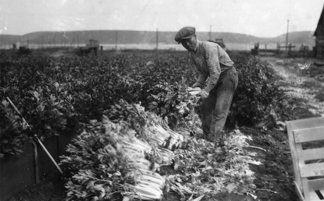 Chinese-American agricultural laborer harvesting stalks of celery on the field