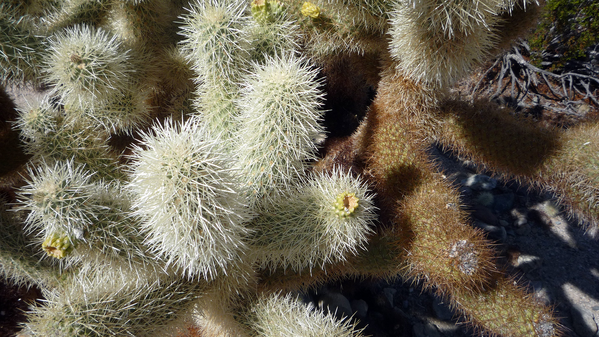 Close-up of a Cholla cactus.
