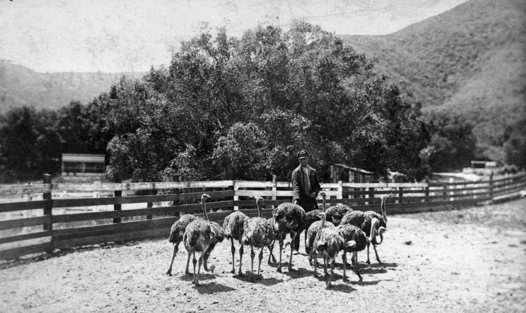 Sketchley's ostrich farm in Rancho Los Feliz, circa 1886. Courtesy of the California Historical Society Collection, USC Libraries.