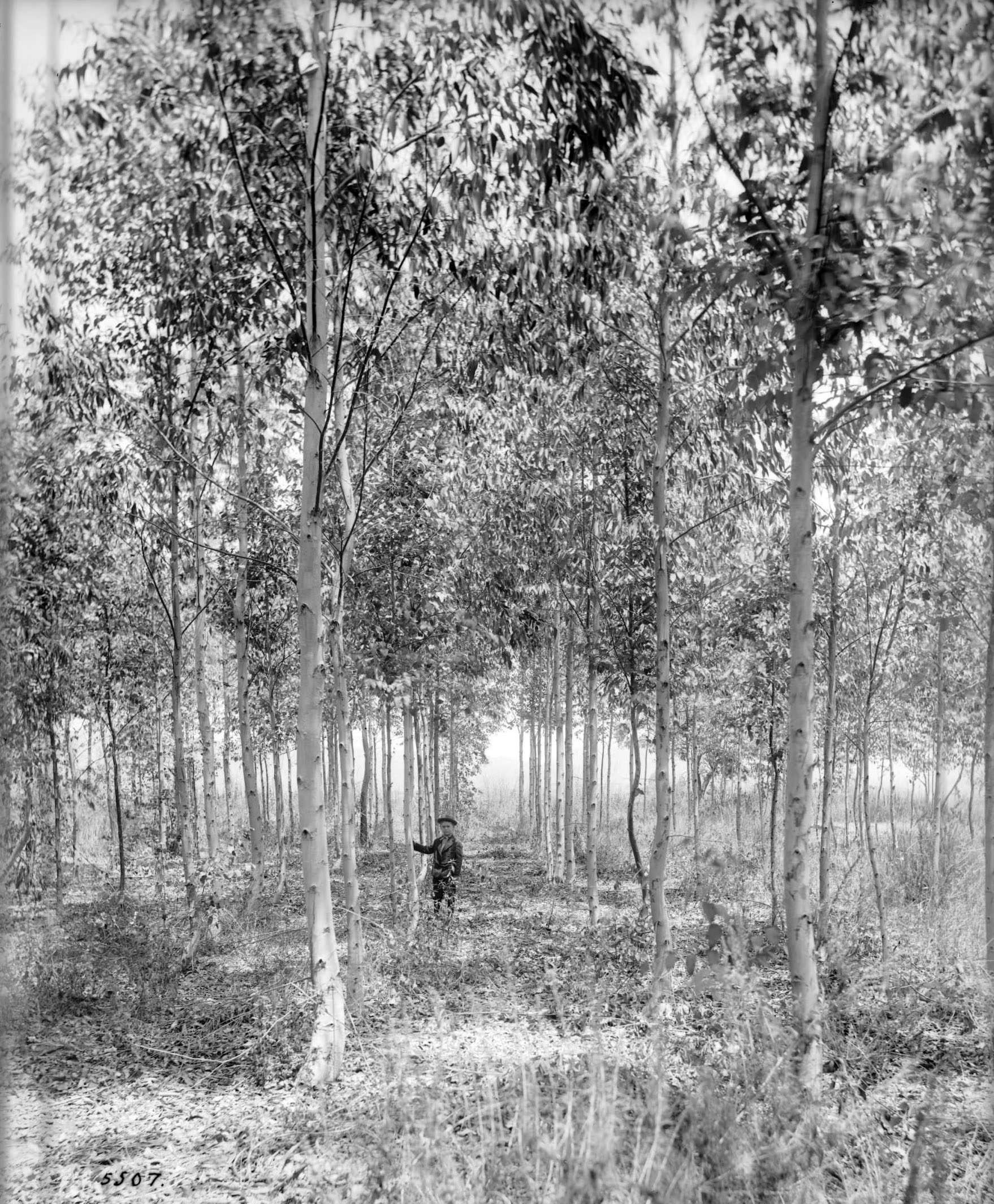 A boy stands in one of the eucalyptus groves at Kinney's Santa Monica forestry station. Courtesy of the Title Insurance and Trust / C.C. Pierce Photography Collection, USC Libraries.