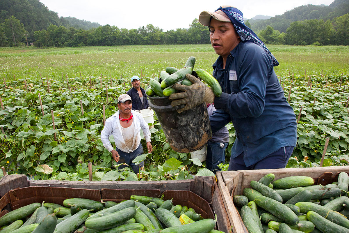 Migrant workers load cucumbers into a truck in Blackwater, Virginia. | Bread of the World/Creative Commons