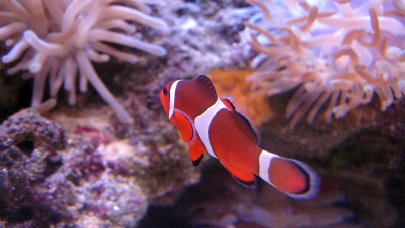 Clownfish | Photo: Krystyn Wukitsch Foran, some rights reserved