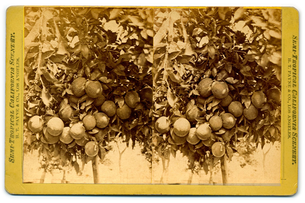 Semi-Tropical California Scenery: Cluster of oranges (H. T. Payne & Company). Photograph courtesy of California State Library