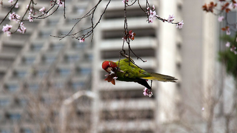 When purple-leaved plums flower in SF's Embarcadero in February, the conures make short work of the blossoms.   Photo: Chris, some rights reserved