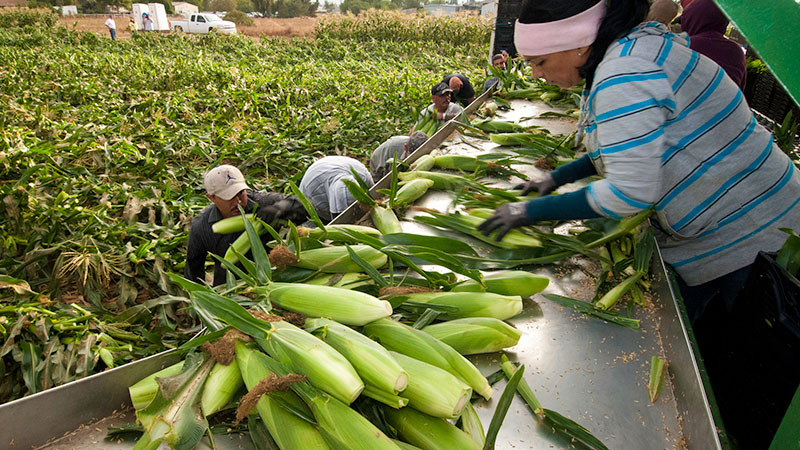 Workers harvest corn in Gilroy, CA. Corn is heavily sprayed with chlorpyrifos. | Photo: USDA