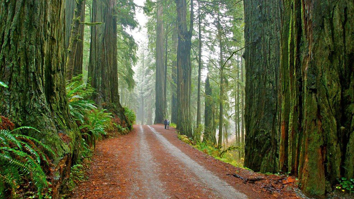 courtesy of jedediah smith redwoods state park