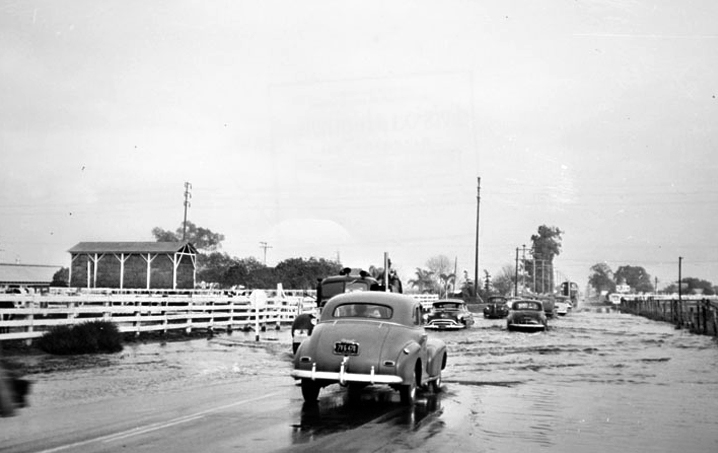 Dairy cows watch as cars drive through flooded Artesia Boulevard in Bellflower, 1952. Photo courtesy of the Los Angeles Public Library