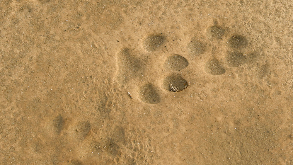 Coyote tracks at Afton Canyon | Photo: David Lamfrom
