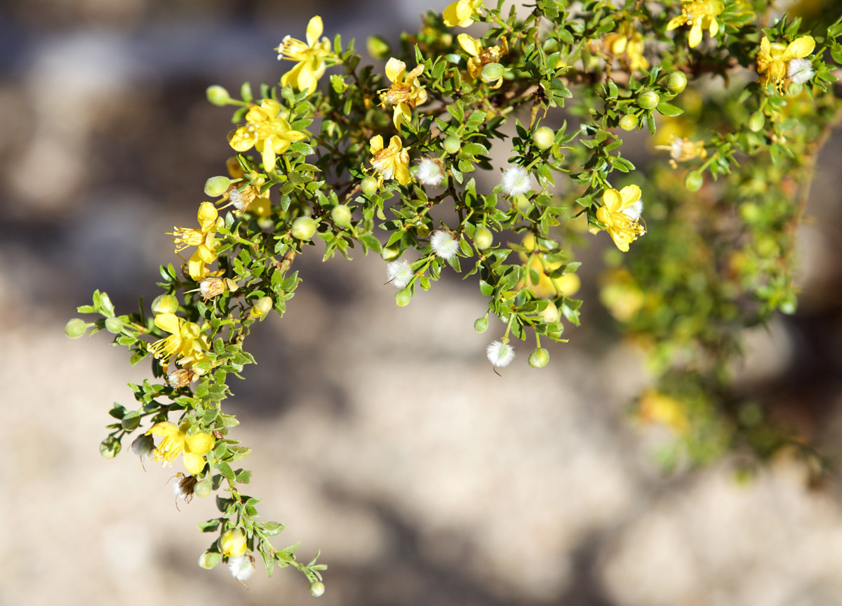 Creosote Bush | Malcolm Manners/Flickr