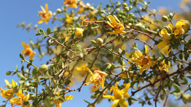 Creosote in bloom