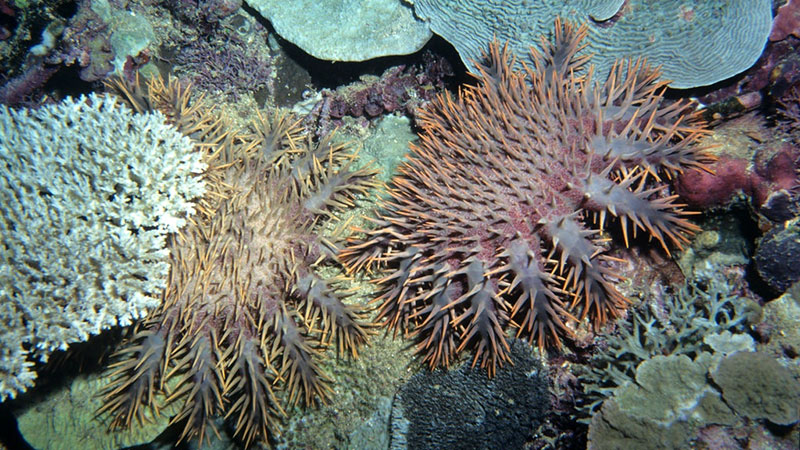 Crown of thorns starfish eating coral in Fiji | Photo: Derek Keats, some rights reserved
