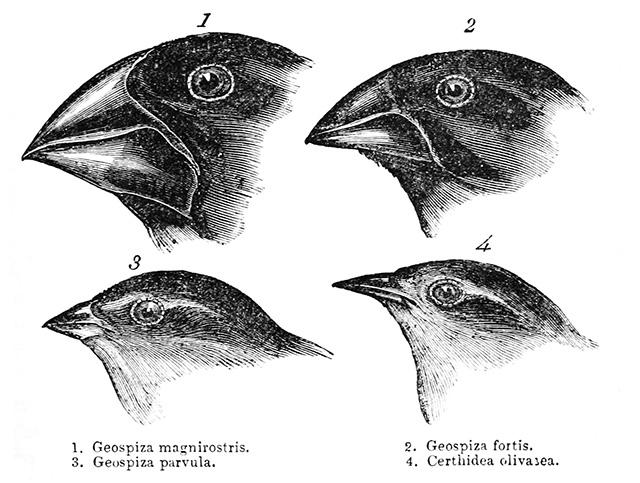 Galapagos Finches | Darwin, 1845