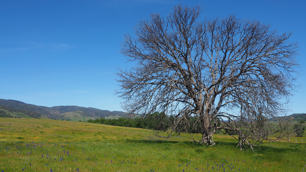Leafless tree in a field of larkspur at Berryessa Snow Mountain National Monument | Photo: Gary Ford, some rights reserved