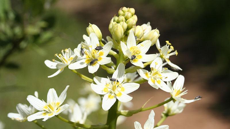 death camas blossoms
