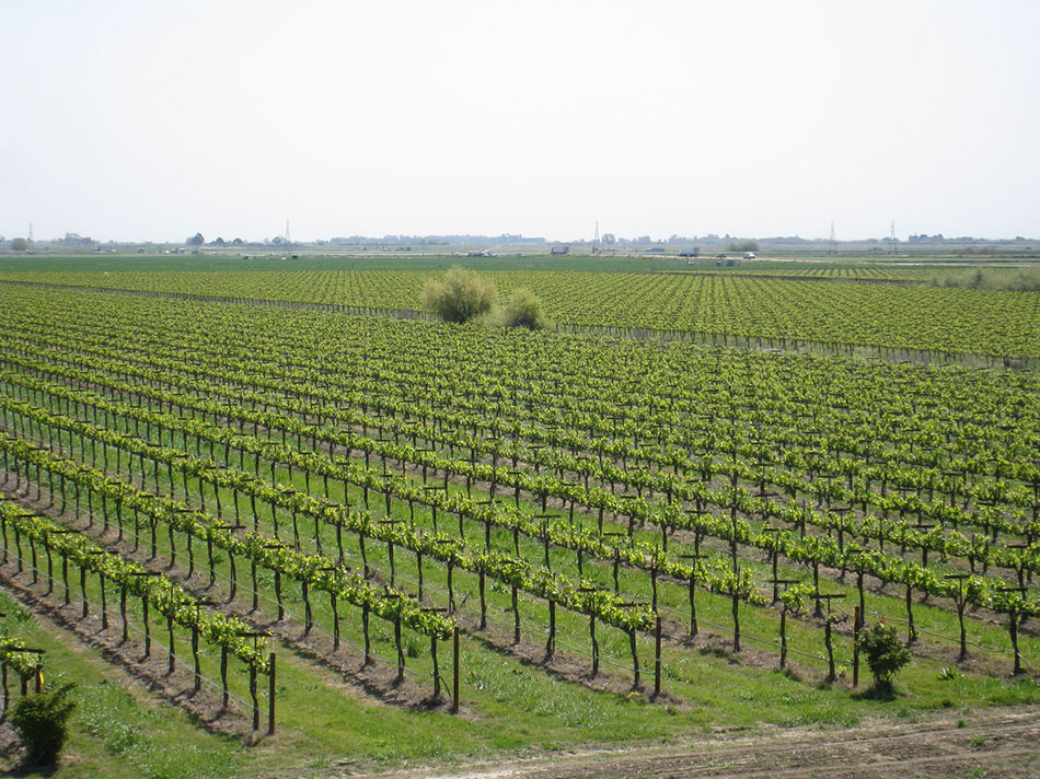 Green Vineyard on Flat Land
