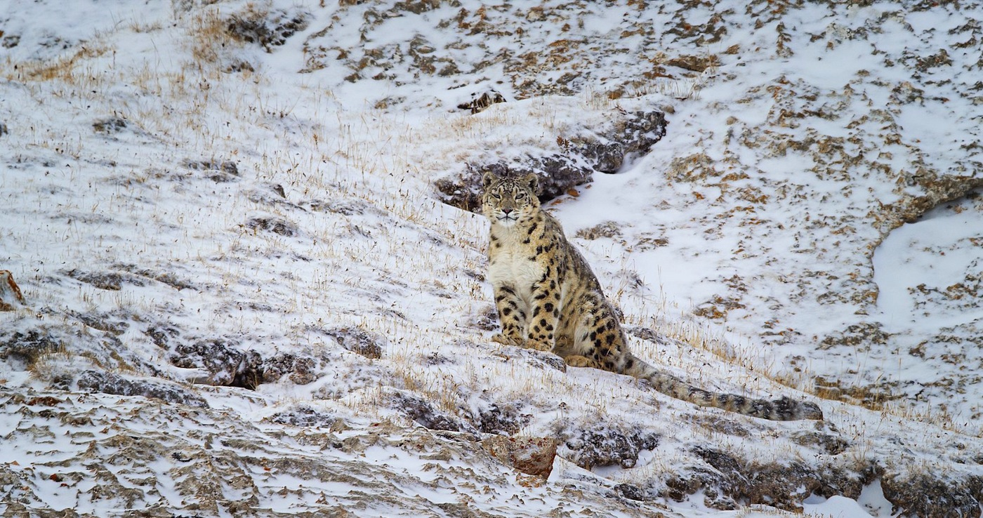 "Disneynature's ""Born in China"" captures snow leopards in the wild"