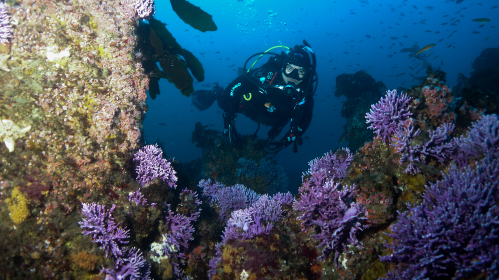 Diver admires purple hydrocorals | Photo: Gabriel Lu, Ocean Safari