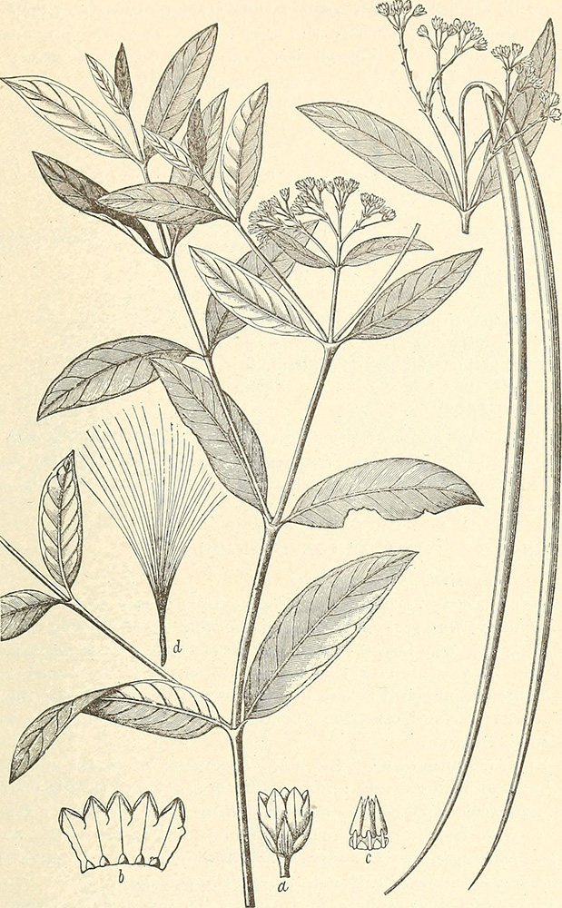 Dogbane | Charles Richard Dodge, A Descriptive Catalogue of Useful Fiber Plants of the World, 1897