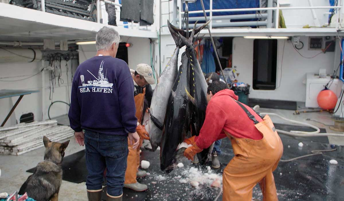 Fishermen cleaning fresh tuna. | Earth Focus