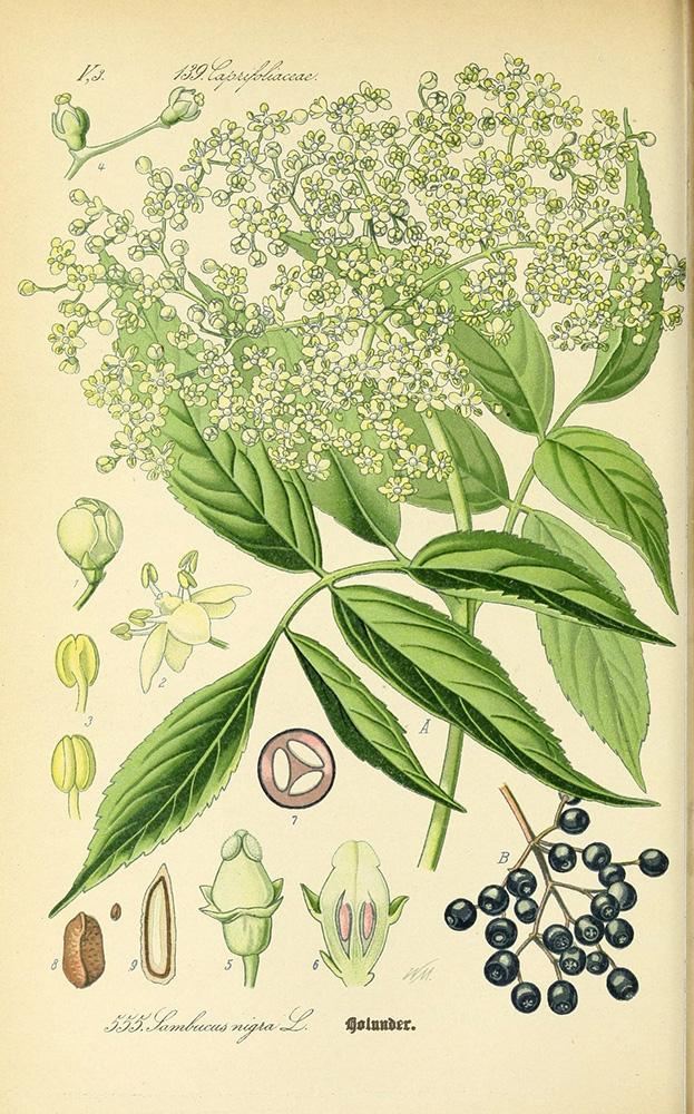 Elderberry | Biodiversity Heritage Library | Curtis's Botanical Magazine, 1874, public domain