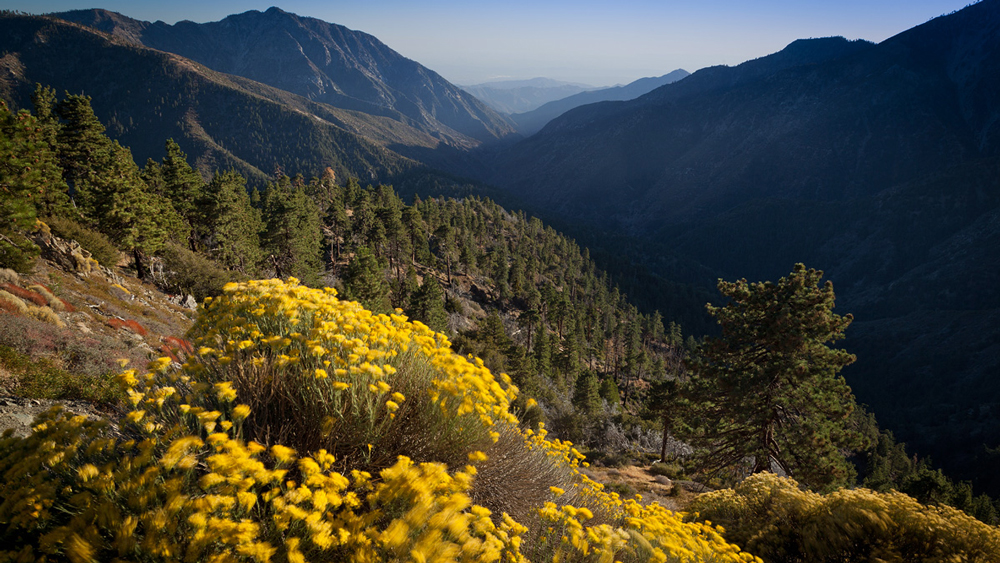Flowering rabbitbrush (Ericamerica nauseosa) and East Fork canyon of the San Gabriel River. | Photo: Michael E. Gordon
