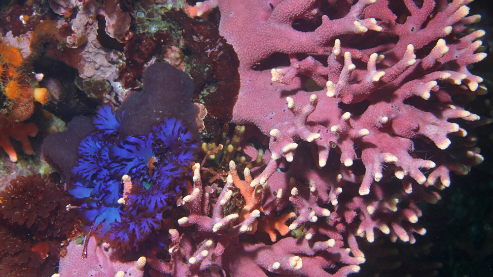 Purple hydrocoral near Carmel | Photo: Steve Lonhart, NOAA/Monterey Bay National Marine Sanctuary