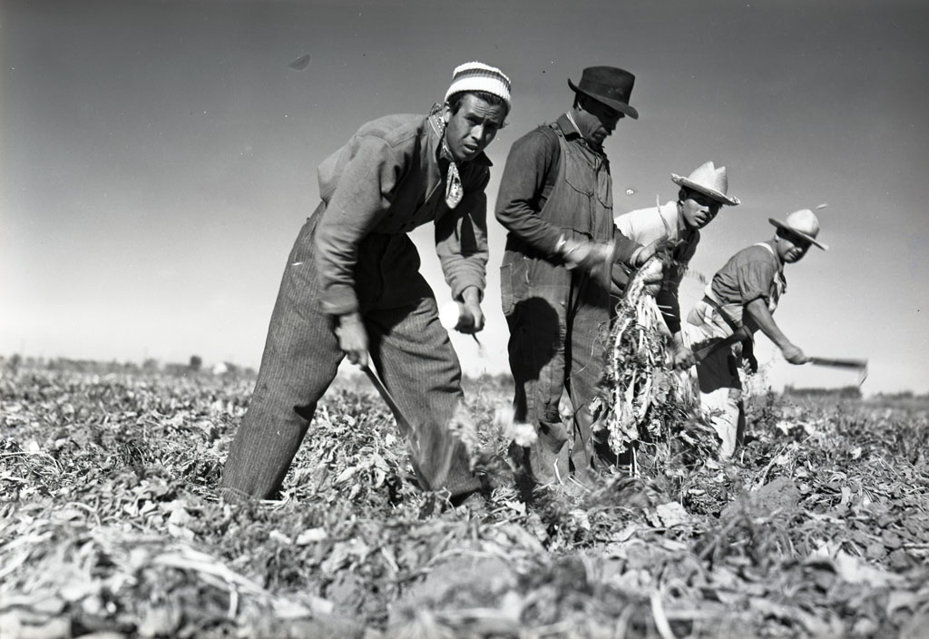 Four Mexican workers harvesting sugar beets in 1942 for Spreckels Sugar Company, Woodland, CA.
