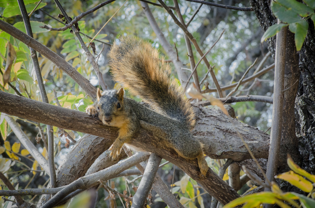 fox-squirrel-1-3-29-16.jpg
