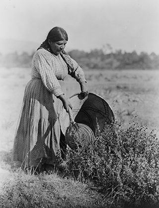 Pomo woman using seed beater to gather seeds into a burden basket, 1924 | Edward S. Curtis Collection (Library of Congress)