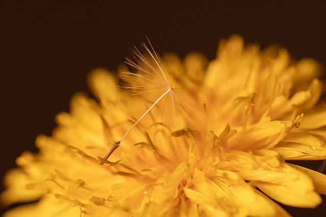 A Dandelion seed lies on the flower |  NurPhoto, Getty Images