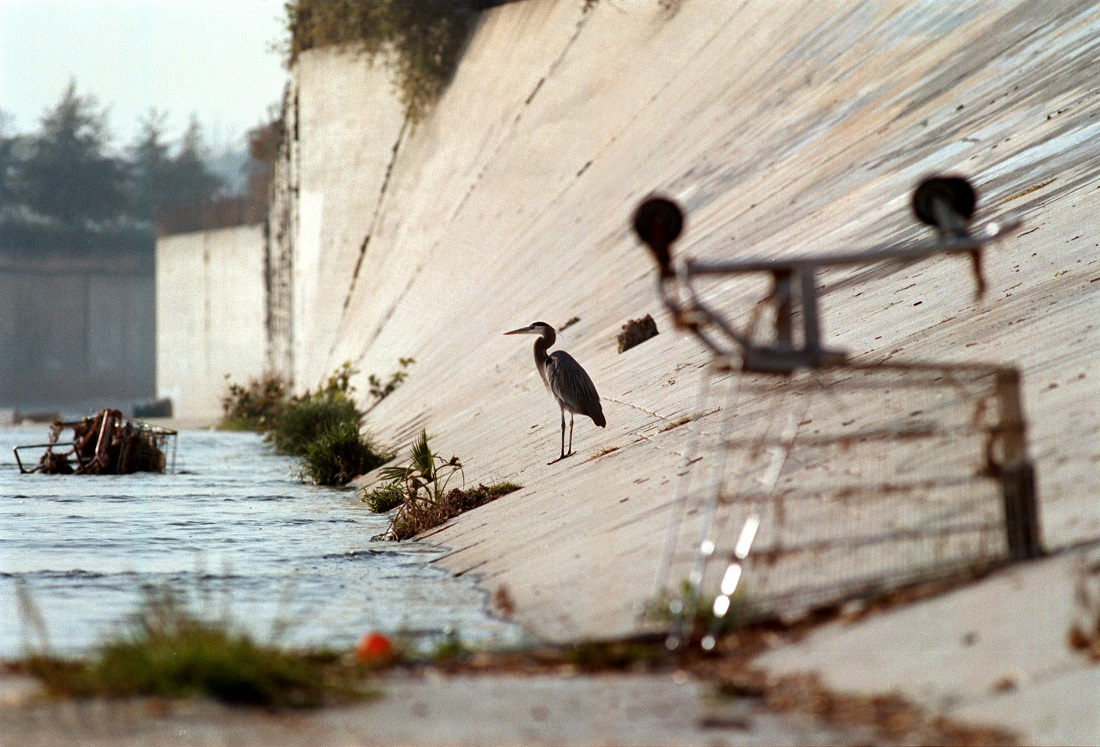 A great blue heron keeps company with shopping carts in the Los Angeles River