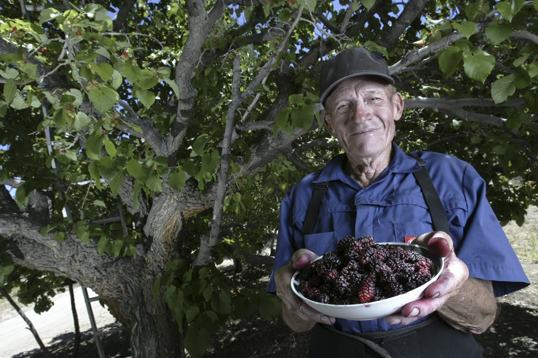 Farmer Clarence Blane shows off a bowl of persian Mulberries under one of his trees on his farm near Lake Hughes
